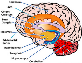 neurobiology of ocd