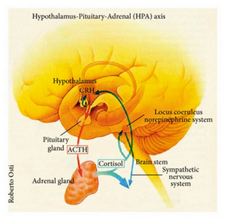 what is the hpa axis